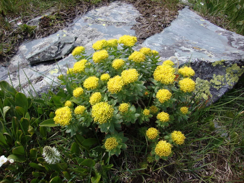 Родиола билка позната и като Златен корен, Златовръх, българският жен- шен, шапна билка, розова родиола, Аймаранду