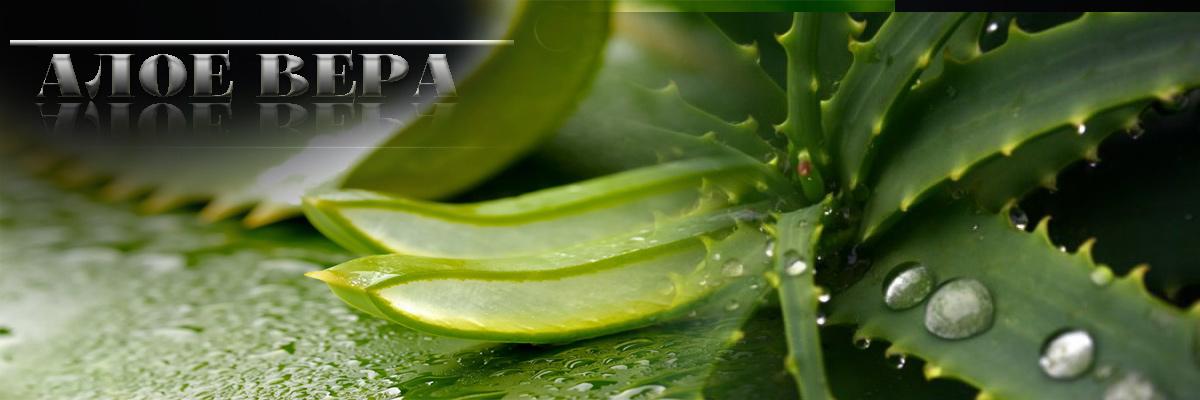 Алое Вера (Aloe Vera) намалява нивата на кръвната захар и така предпазва от появата на диабет.