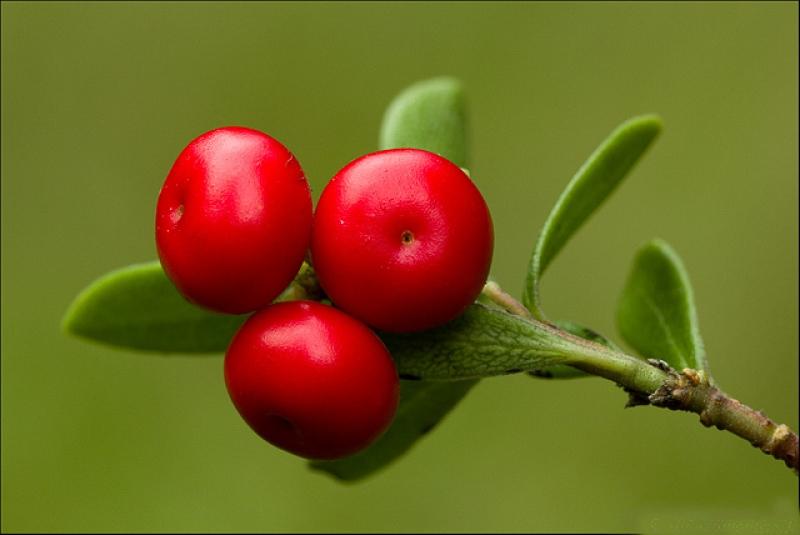 Топ новини за Фитнес » Диети » При проблеми на  пикочните пътища-Мечо грозде » Форум » Мнения