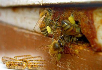 Топ новини за Фитнес » Диети » Пчелен прашец-най-мощната храна в света! » Форум » Мнения