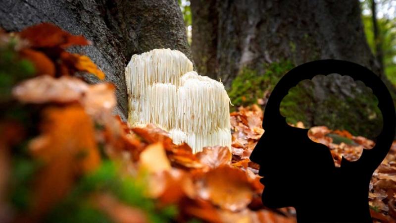 Гъба лъвска грива - грижи се за доброто състояние на мозъка и нервната система
