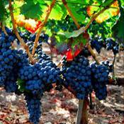 Топ новини за Фитнес » Диети » Лечение с грозде - ампелотерапия  » Форум » Мнения