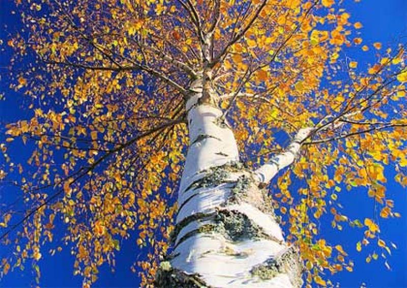 Топ новини за Фитнес » Диети » Бяла бреза - най-добрия природен диуретик » Форум » Мнения