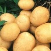 Топ новини за Фитнес » Диети » Диетични картофи - сорта Вивалди » Форум » Мнения