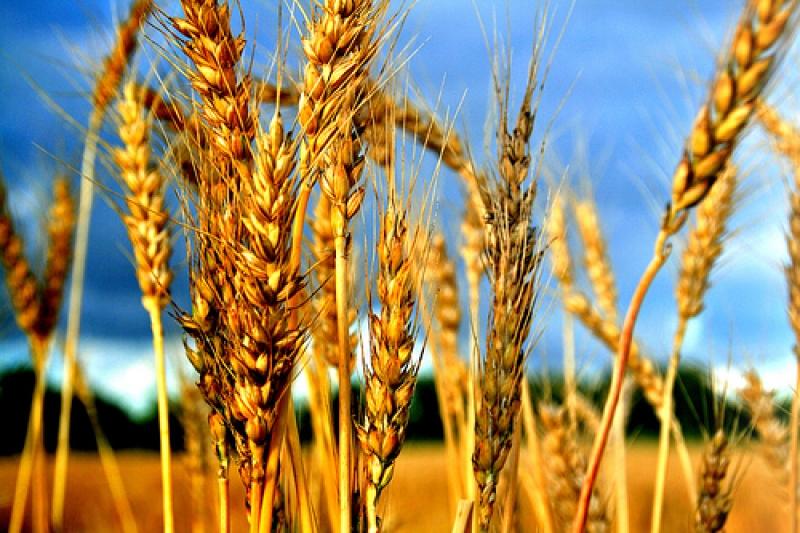 Топ новини за Фитнес » Диети » Пшеница и защо е полезно Житото » Форум » Мнения