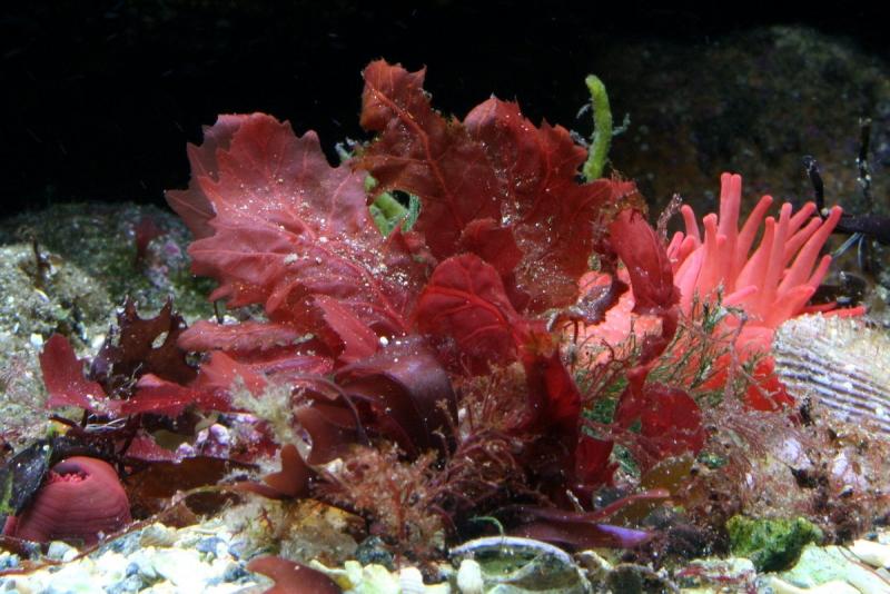 Топ новини за Фитнес » Диети » Натурален калций от Червени водорасли » Форум » Мнения