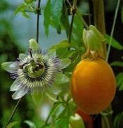 Топ новини за Фитнес » Диети » Пасифлора /Passiflora -Маракуя за здрава нервна система » Форум » Мнения
